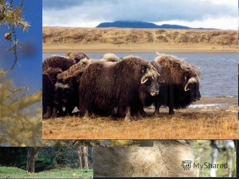 Животный мир Якутии богат и разнообразен.