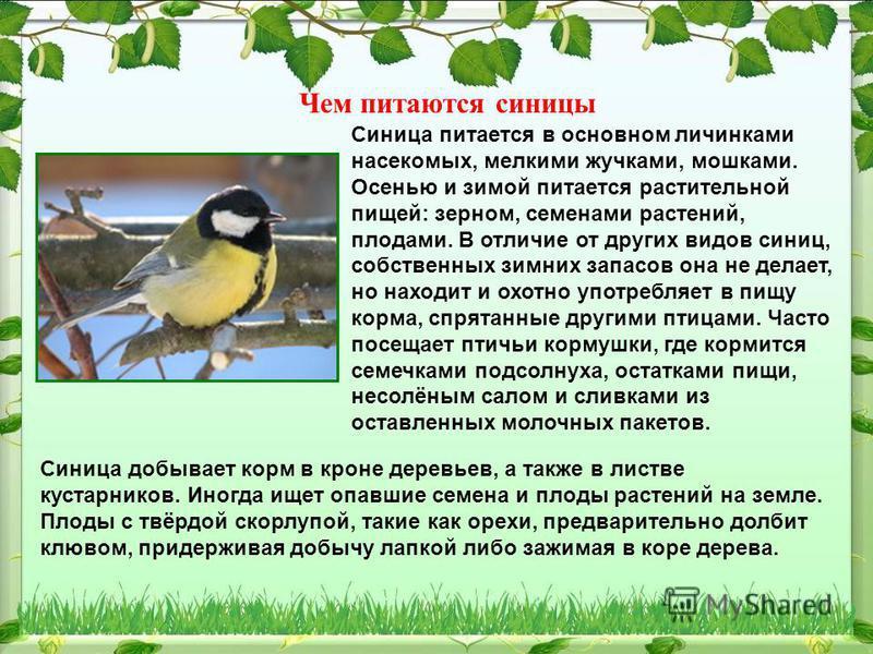 Чем питаются синицы Синица питается в основном личинками насекомых, мелкими жучками, мошками. Осенью и зимой питается растительной пищей: зерном, семенами растений, плодами. В отличие от других видов синиц, собственных зимних запасов она не делает, н