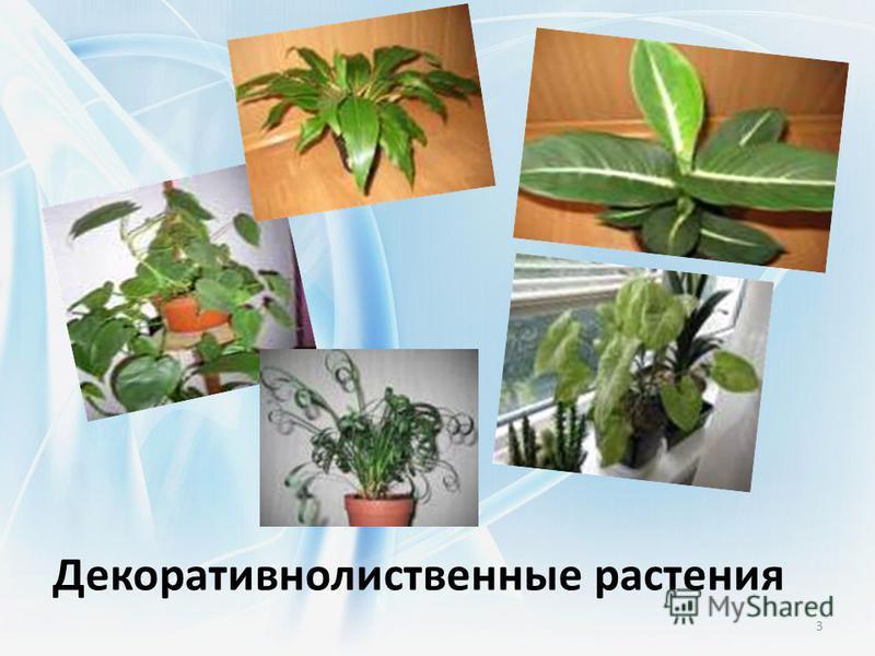 Декоративнолиственные растения 3