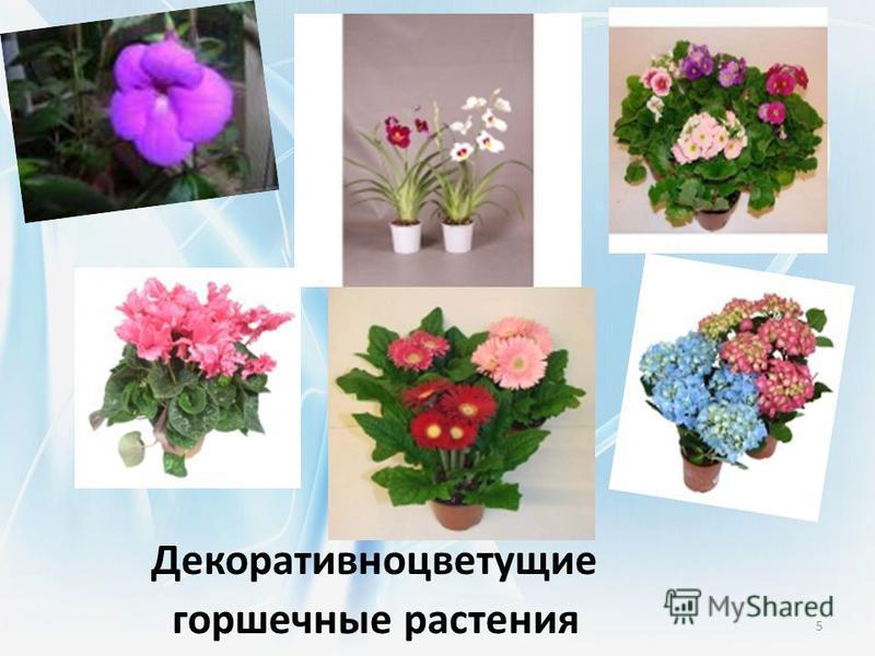 Декоративноцветущие горшечные растения 5