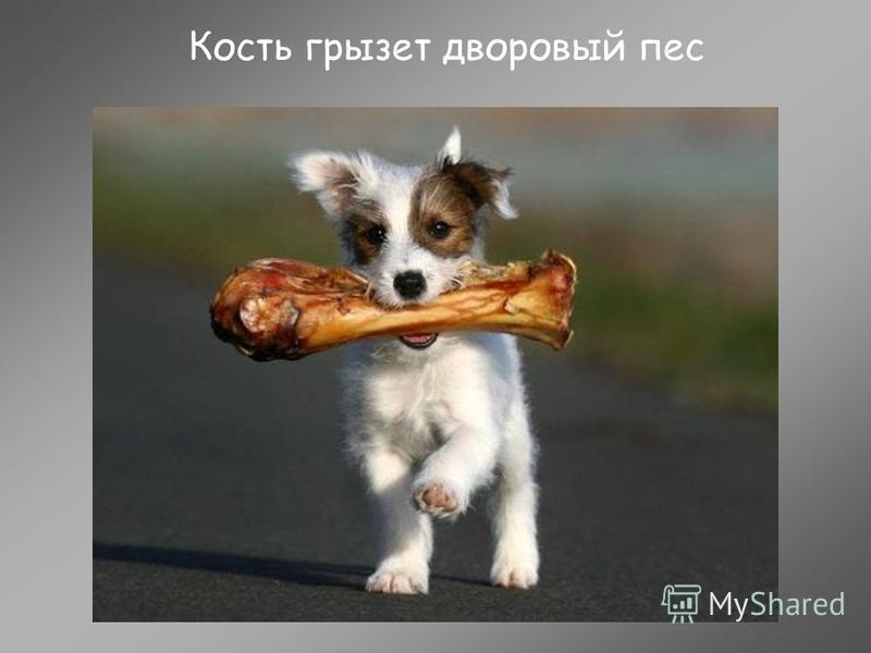Кость грызет дворовый пес