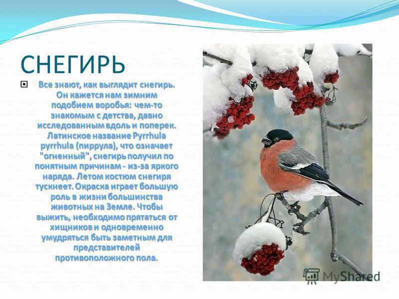 Где ельник,там и клесты. Окраска яркая,красная. Клюв крючком. Птенцов клесты выводят в любое время года. Было бы шишек много, а мороз не страшен.