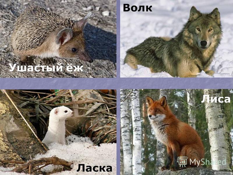 Ласка Лиса Волк Ушастый ёж