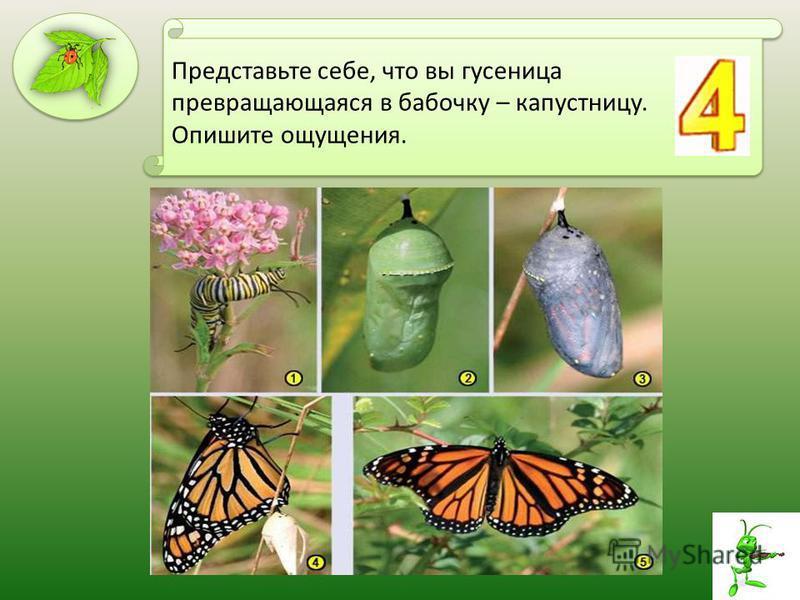 Представьте себе, что вы гусеница превращающаяся в бабочку – капустницу. Опишите ощущения.