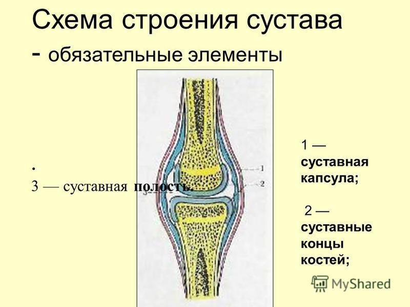 . 3 суставная полость. Схема строения сустава - обязательные элементы 1 суставная капсула; 2 суставные концы костей;