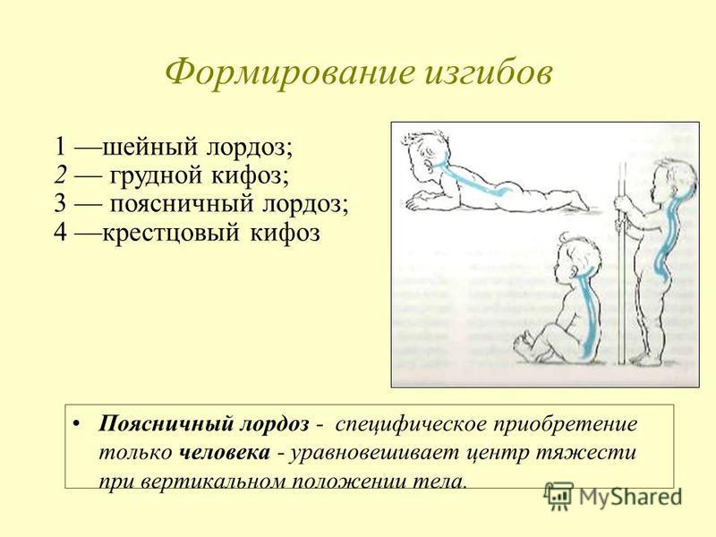 Формирование изгибов Поясничный лордоз - специфическое приобретение только человека - уравновешивает центр тяжести при вертикальном положении тела. 1 шейный лордоз; 2 грудной кифоз; 3 поясничный лордоз; 4 крестцовый кифоз