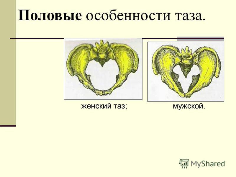 Половые особенности таза. женский таз; мужской.