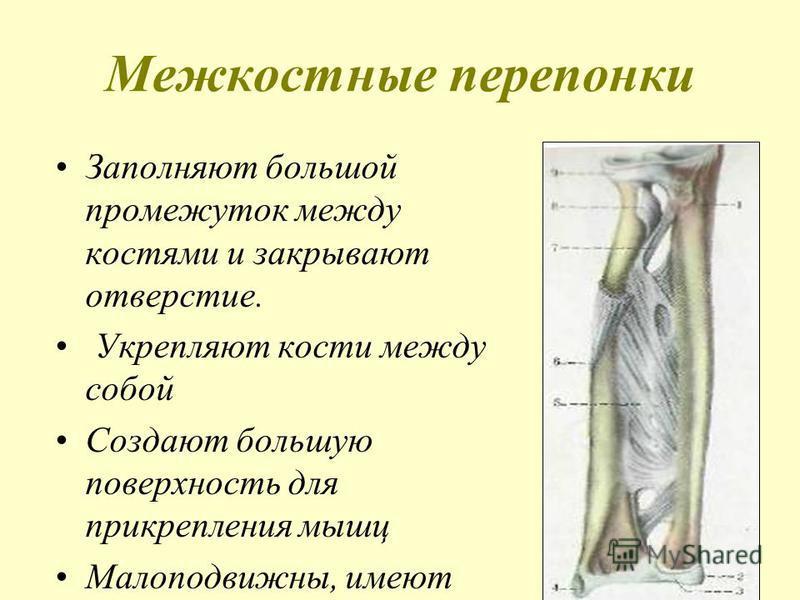 Межкостные перепонки Заполняют большой промежуток между костями и закрывают отверстие. Укрепляют кости между собой Создают большую поверхность для прикрепления мышц Малоподвижны, имеют отверстие для сосудов, образуют каналы.