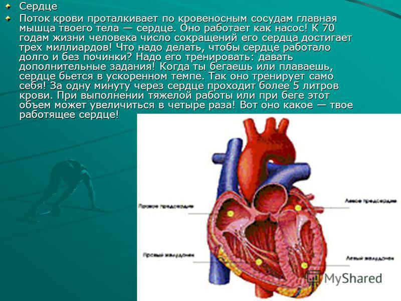 Сердце Поток крови проталкивает по кровеносным сосудам главная мышца твоего тела сердце. Оно работает как насос! К 70 годам жизни человека число сокращений его сердца достигает трех миллиардов! Что надо делать, чтобы сердце работало долго и без почин