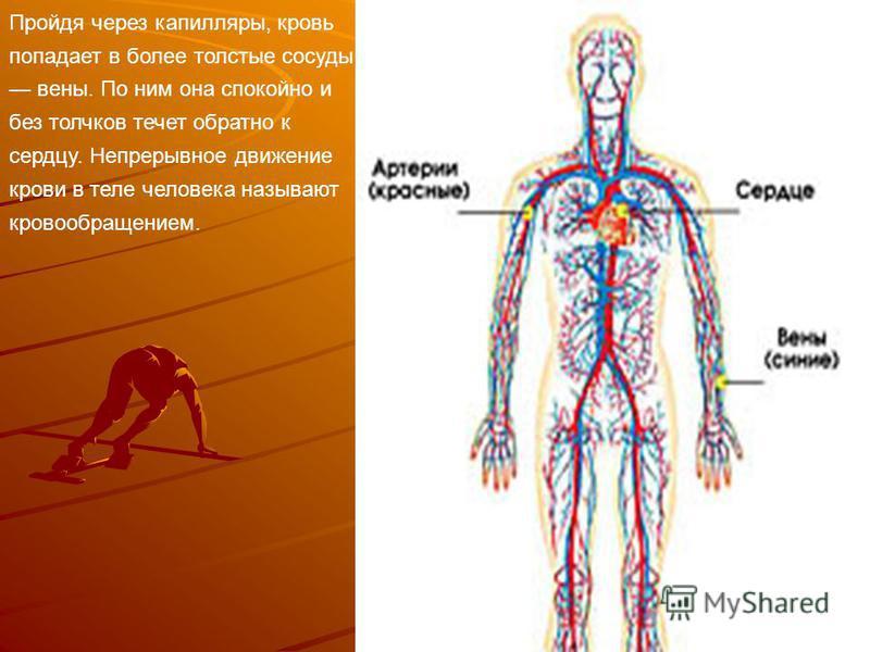 Пройдя через капилляры, кровь попадает в более толстые сосуды вены. По ним она спокойно и без толчков течет обратно к сердцу. Непрерывное движение крови в теле человека называют кровообращением.