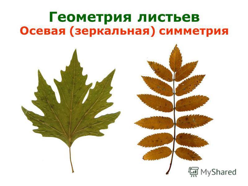 Геометрия листьев Осевая (зеркальная) симметрия