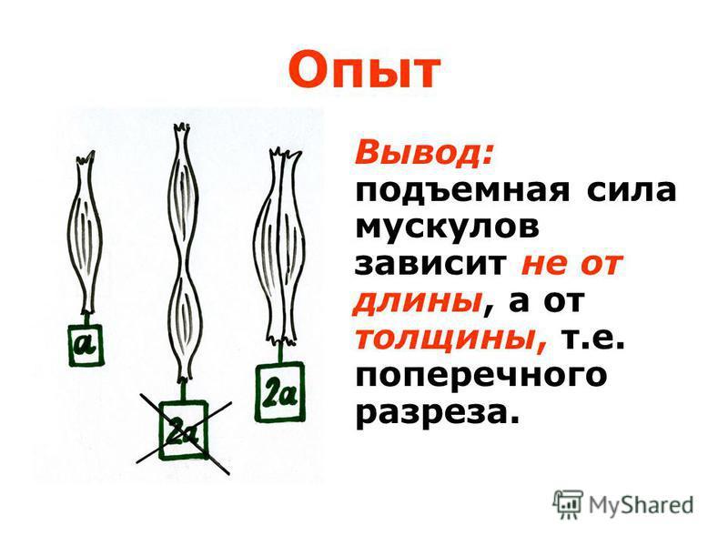 Вывод: подъемная сила мускулов зависит не от длины, а от толщины, т.е. поперечного разреза. Опыт