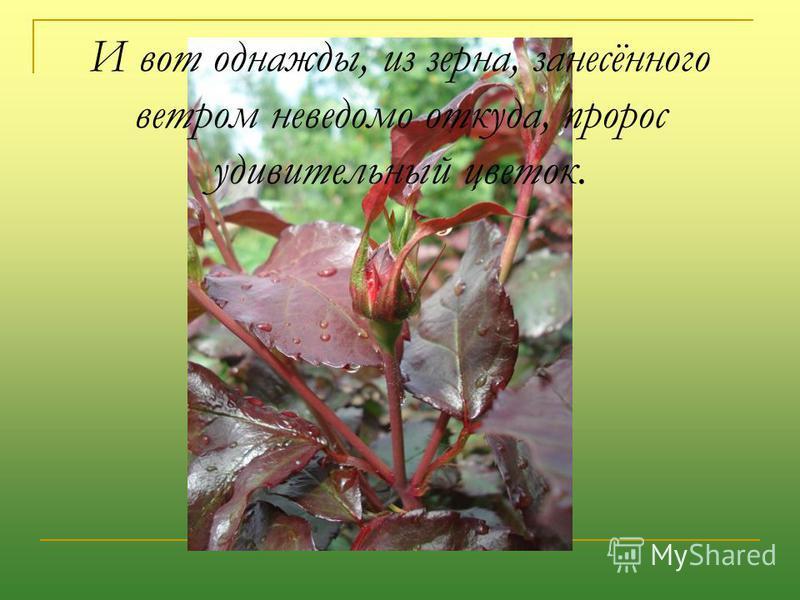 И вот однажды, из зерна, занесённого ветром неведомо откуда, пророс удивительный цветок.