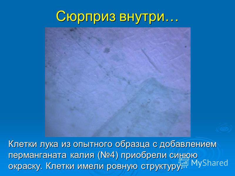 Сюрприз внутри… Клетки лука из опытного образца с добавлением перманганата калия (4) приобрели синюю окраску. Клетки имели ровную структуру.