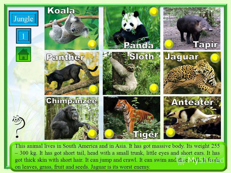 1 Savanna This animal lives in South America and in Asia. It has got massive body. Its weight 255 – 300 kg. It has got short tail, head with a small trunk, little eyes and short ears. It has got thick skin with short hair. It can jump and crawl. It c