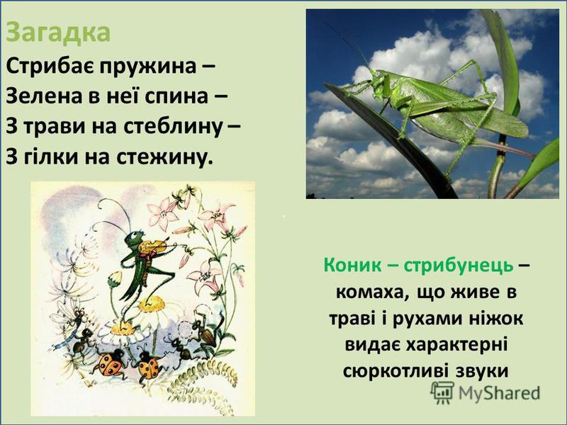. Загадка Стрибає пружина – Зелена в неї спина – З трави на стеблину – З гілки на стежину. Коник – стрибунець – комаха, що живе в траві і рухами ніжок видає характерні сюркотливі звуки
