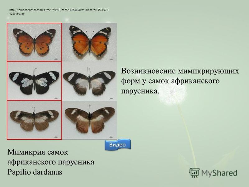 http://lemondedesphasmes.free.fr/IMG/cache-425x450/mimebatok-450x477- 425x450. jpg Мимикрия самок африканского парусника Papilio dardanus Возникновение мимикрирующих форм у самок африканского парусника. Видео