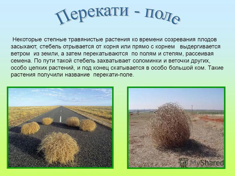 Некоторые степные травянистые растения ко времени созревания плодов засыхают, стебель отрывается от корня или прямо с корнем выдергивается ветром из земли, а затем перекатываются по полям и степям, рассеивая семена. По пути такой стебель захватывает
