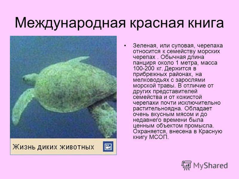 Международная красная книга Зеленая, или суповая, черепаха относится к семейству морских черепах. Обычная длина панциря около 1 метра, масса 100-200 кг. Держится в прибрежных районах, на мелководьях с зарослями морской травы. В отличие от других пред
