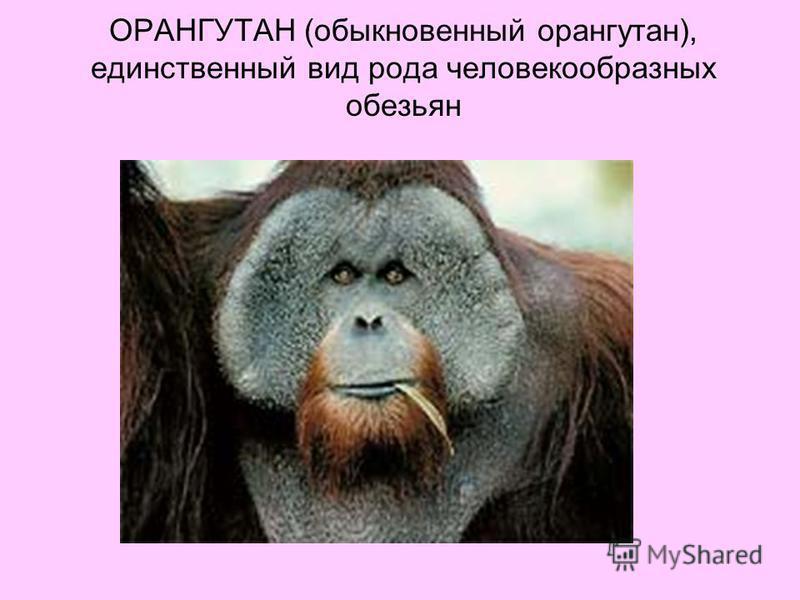 ОРАНГУТАН (обыкновенный орангутан), единственный вид рода человекообразных обезьян