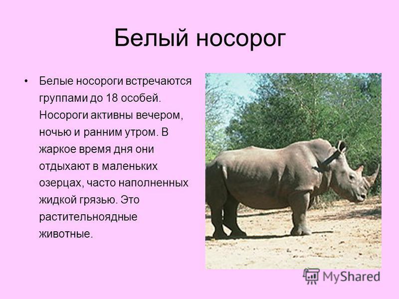 Белый носорог Белые носороги встречаются группами до 18 особей. Носороги активны вечером, ночью и ранним утром. В жаркое время дня они отдыхают в маленьких озерцах, часто наполненных жидкой грязью. Это растительноядные животные.