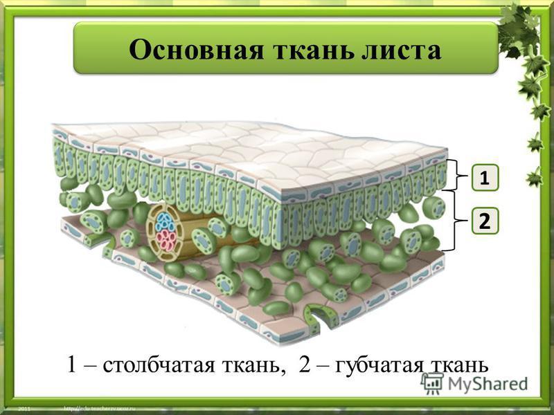 1 – столбчатая ткань, 2 – губчатая ткань Основная ткань листа 1 2