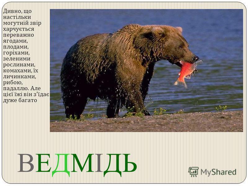ВЕДМІДЬ Дивно, що настільки могутній звір харчується переважно ягодами, плодами, горіхами, зеленими рослинами, комахами, їх личинками, рибою, падаллю. Але цієї їжі він з ' їдає дуже багато