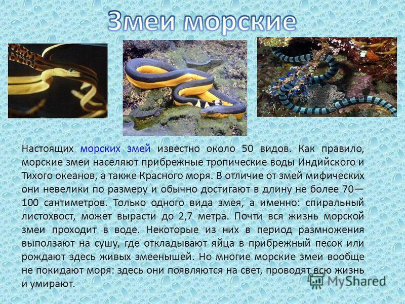 Настоящих морских змей известно около 50 видов. Как правило, морские змеи населяют прибрежные тропические воды Индийского и Тихого океанов, а также Красного моря. В отличие от змей мифических они невелики по размеру и обычно достигают в длину не боле