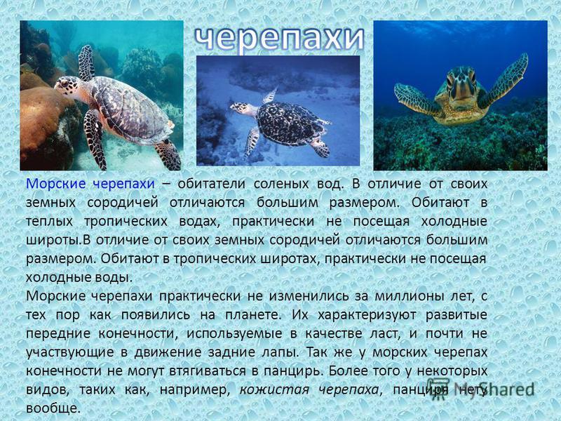 Морские черепахи – обитатели соленых вод. В отличие от своих земных сородичей отличаются большим размером. Обитают в теплых тропических водах, практически не посещая холодные широты.В отличие от своих земных сородичей отличаются большим размером. Оби