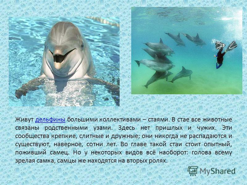 Живут дельфины большими коллективами – стаями. В стае все животные связаны родственными узами. Здесь нет пришлых и чужих. Эти сообщества крепкие, слитные и дружные; они никогда не распадаются и существуют, наверное, сотни лет. Во главе такой стаи сто