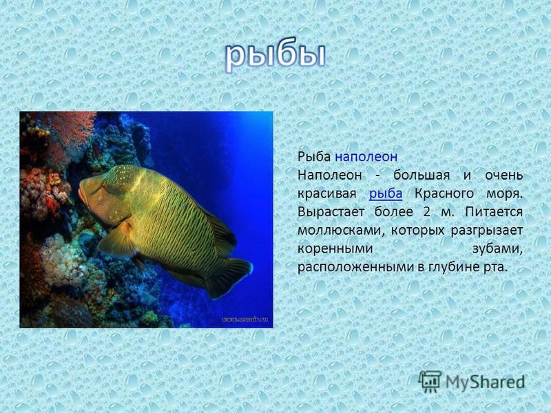 Рыба наполеон Наполеон - большая и очень красивая рыба Красного моря. Вырастает более 2 м. Питается моллюсками, которых разгрызает коренными зубами, расположенными в глубине рта.рыба