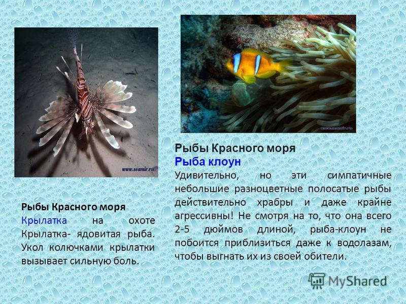 Рыбы Красного моря Крылатка на охоте Крылатка- ядовитая рыба. Укол колючками крылатки вызывает сильную боль. Рыбы Красного моря Рыба клоун Удивительно, но эти симпатичные небольшие разноцветные полосатые рыбы действительно храбры и даже крайне агресс