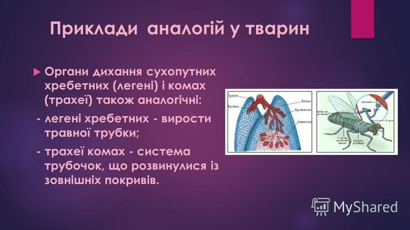 Органи дихання сухопутних хребетних (легені) і комах (трахеї) також аналогічні: - легені хребетних - вирости травної трубки; - трахеї комах - система трубочок, що розвинулися із зовнішніх покривів. Приклади аналогій у тварин