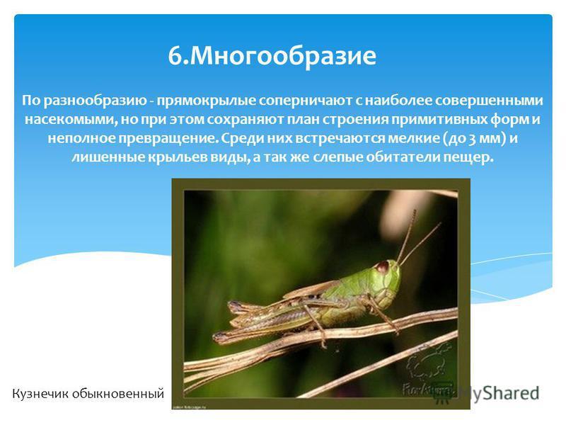 По разнообразию - прямокрылые соперничают с наиболее совершенными насекомыми, но при этом сохраняют план строения примитивных форм и неполное превращение. Среди них встречаются мелкие (до 3 мм) и лишенные крыльев виды, а так же слепые обитатели пещер