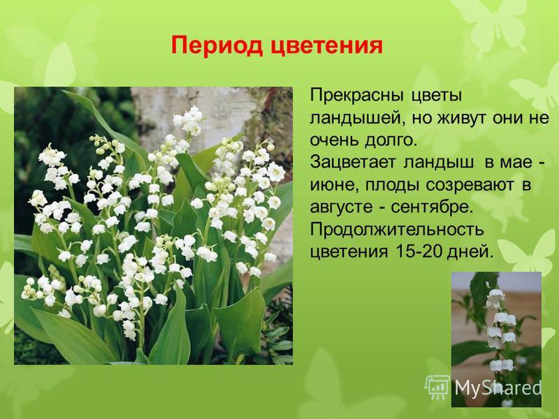 Период цветения Прекрасны цветы ландышей, но живут они не очень долго. Зацветает ландыш в мае - июне, плоды созревают в августе - сентябре. Продолжительность цветения 15-20 дней.