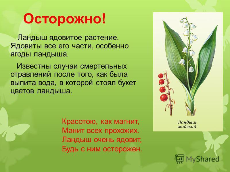 Осторожно! Ландыш ядовитое растение. Ядовиты все его части, особенно ягоды ландыша. Известны случаи смертельных отравлений после того, как была выпита вода, в которой стоял букет цветов ландыша. Красотою, как магнит, Манит всех прохожих. Ландыш очень