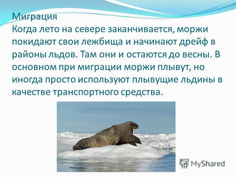 Миграция Когда лето на севере заканчивается, моржи покидают свои лежбища и начинают дрейф в районы льдов. Там они и остаются до весны. В основном при миграции моржи плывут, но иногда просто используют плывущие льдины в качестве транспортного средства