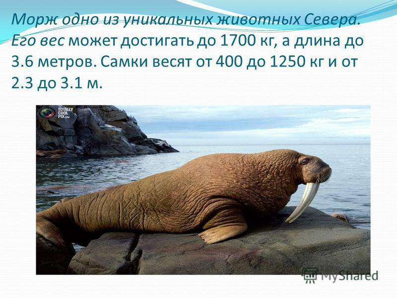 Морж одно из уникальных животных Севера. Его вес может достигать до 1700 кг, а длина до 3.6 метров. Самки весят от 400 до 1250 кг и от 2.3 до 3.1 м.