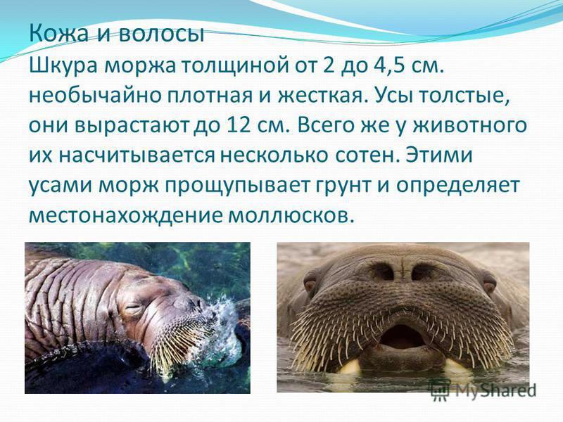 Кожа и волосы Шкура моржа толщиной от 2 до 4,5 см. необычайно плотная и жесткая. Усы толстые, они вырастают до 12 см. Всего же у животного их насчитывается несколько сотен. Этими усами морж прощупывает грунт и определяет местонахождение моллюсков.