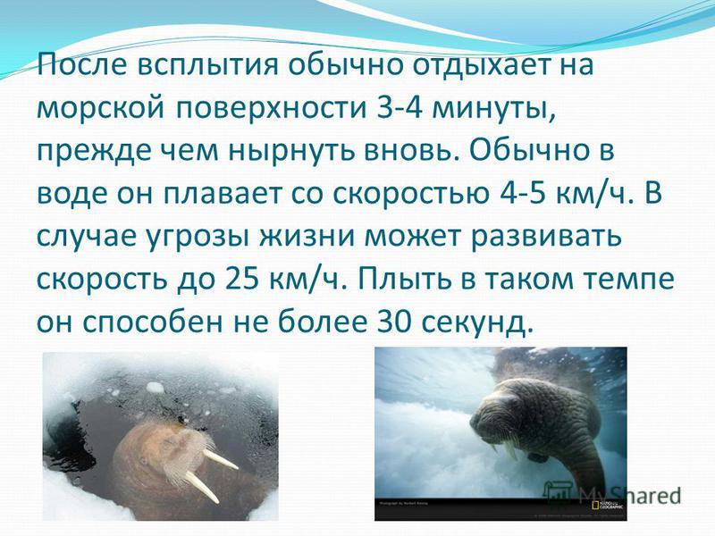 После всплытия обычно отдыхает на морской поверхности 3-4 минуты, прежде чем нырнуть вновь. Обычно в воде он плавает со скоростью 4-5 км/ч. В случае угрозы жизни может развивать скорость до 25 км/ч. Плыть в таком темпе он способен не более 30 секунд.