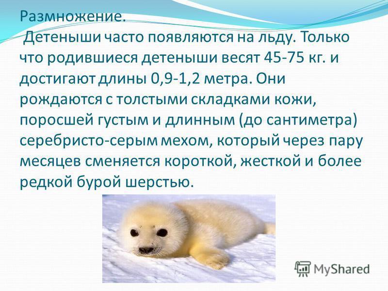 Размножение. Детеныши часто появляются на льду. Только что родившиеся детеныши весят 45-75 кг. и достигают длины 0,9-1,2 метра. Они рождаются с толстыми складками кожи, поросшей густым и длинным (до сантиметра) серебристо-серым мехом, который через п