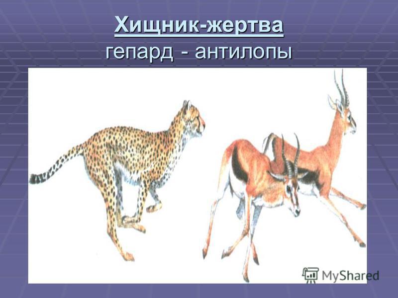Хищник-жертва гепард - антилопы