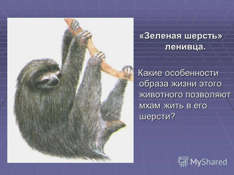 «Зеленая шерсть» ленивца. Какие особенности образа жизни этого животного позволяют мхам жить в его шерсти? Какие особенности образа жизни этого животного позволяют мхам жить в его шерсти?