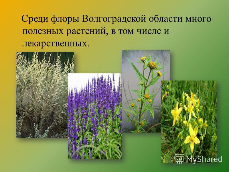 Среди флоры Волгоградской области много полезных растений, в том числе и лекарственных.