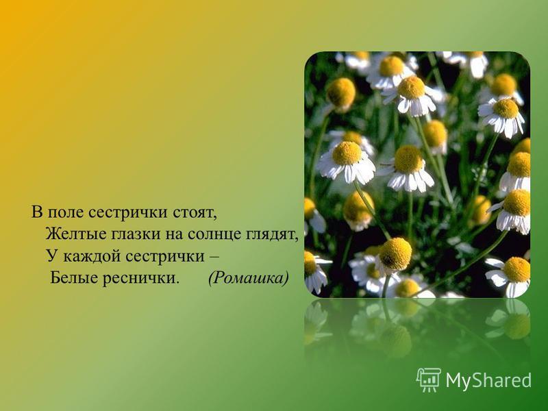 В поле сестрички стоят, Желтые глазки на солнце глядят, У каждой сестрички – Белые реснички. (Ромашка)