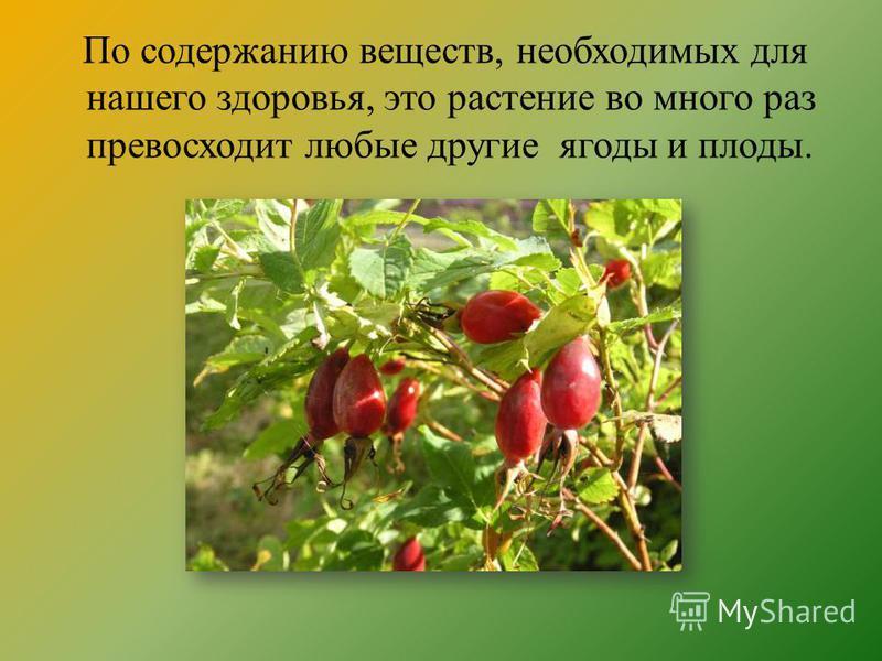 По содержанию веществ, необходимых для нашего здоровья, это растение во много раз превосходит любые другие ягоды и плоды.