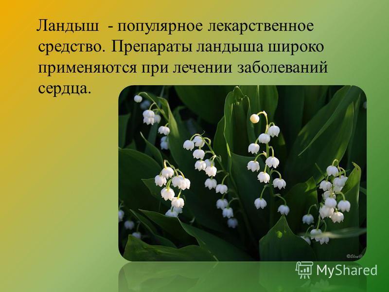 Ландыш - популярное лекарственное средство. Препараты ландыша широко применяются при лечении заболеваний сердца.