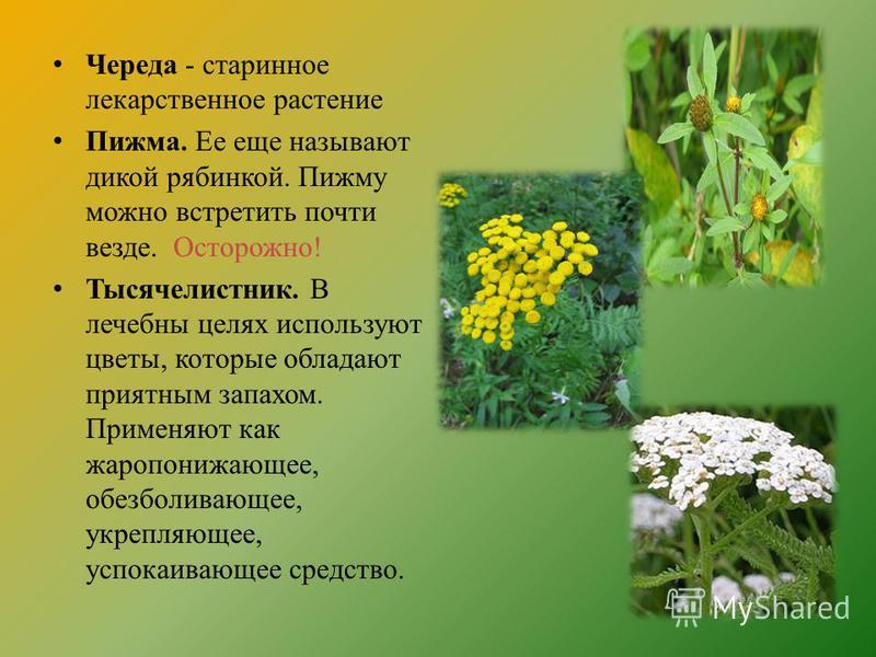 цветы липы от холестерина