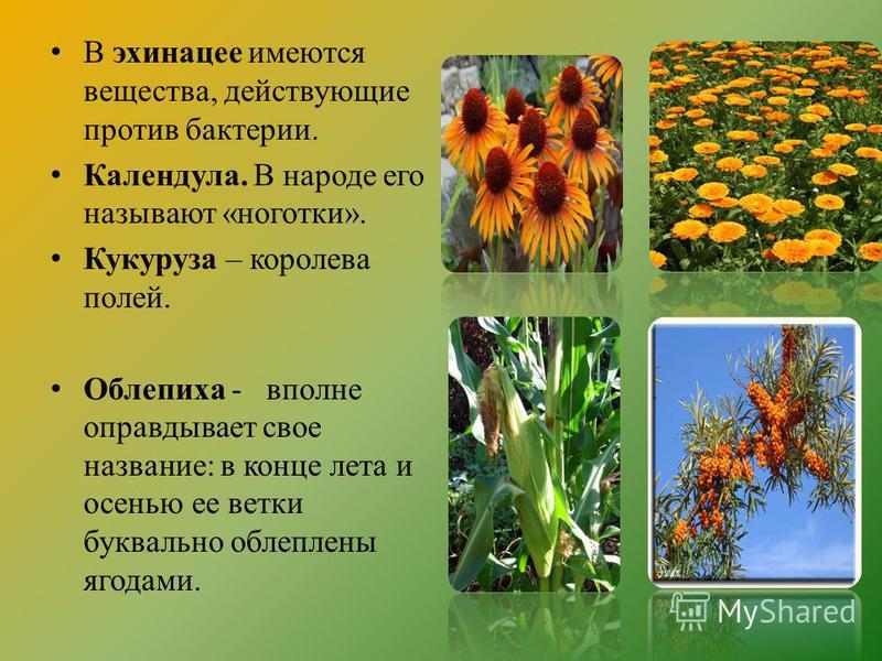 В эхинацее имеются вещества, действующие против бактерии. Календула. В народе его называют «ноготки». Кукуруза – королева полей. Облепиха - вполне оправдывает свое название: в конце лета и осенью ее ветки буквально облеплены ягодами.