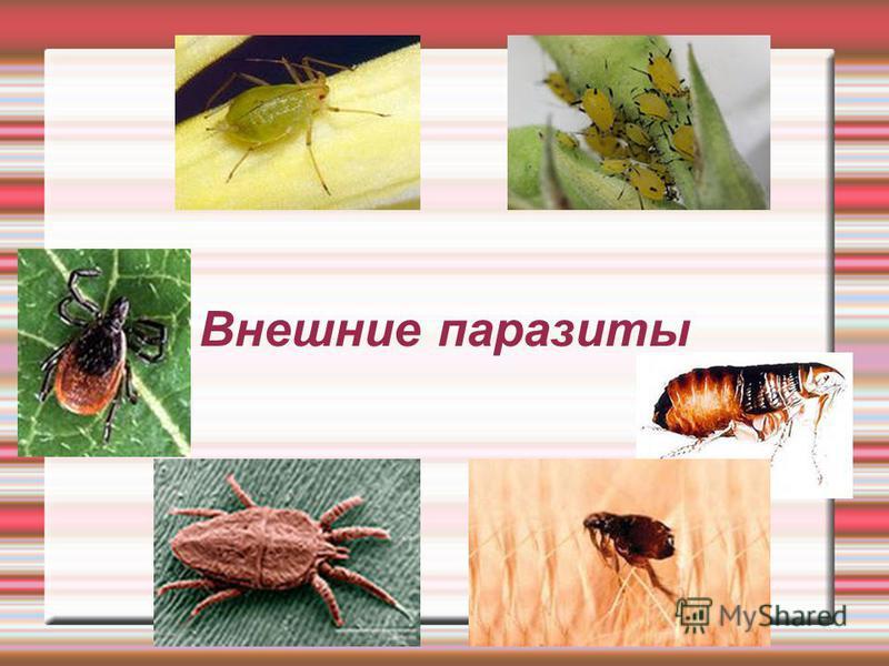 Внешние паразиты